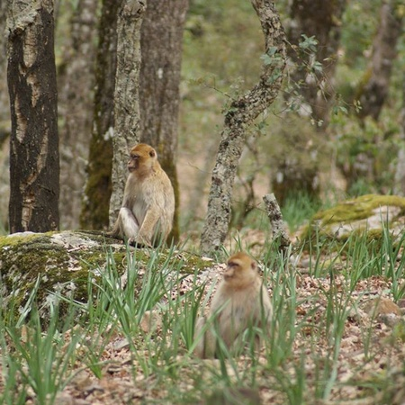 Group of Barbary macaques in the forest. Photograph by Lucy Radford.