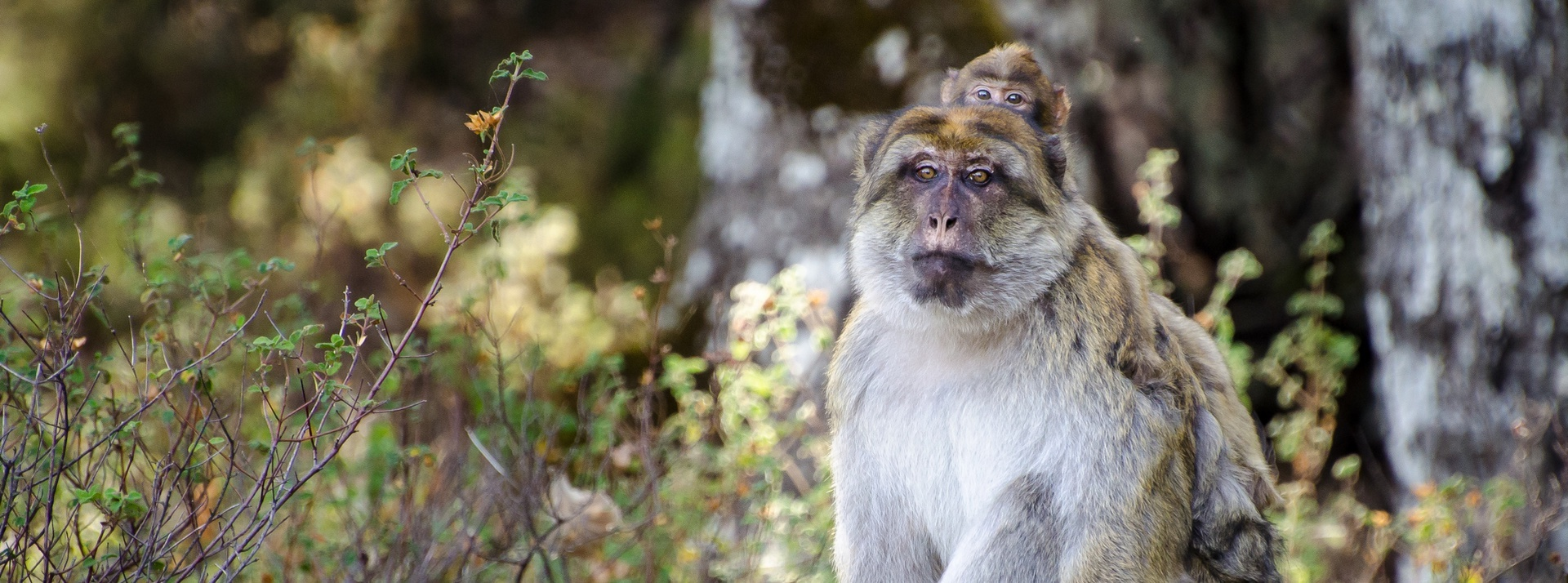 Support a group of Barbary macaques