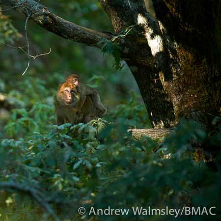 Male Barbary macaque carrying an infant.