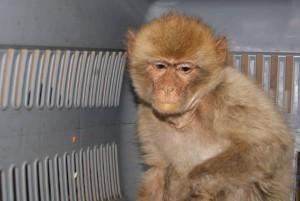 barbary-macaque-rescue