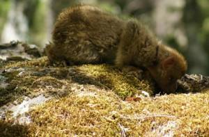 rescue-young-macaque2