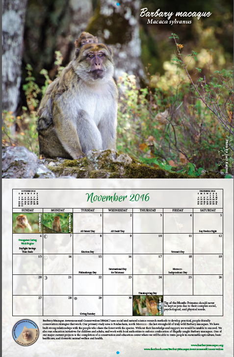 Our page in the Primate Connections calendar - a beautiful Barbary macaque image for November 2016