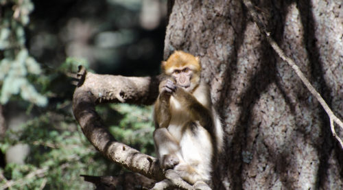 Macaca sylvanus_Barbary macaque_Lucy Radford_3